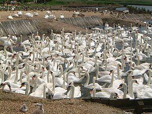 Abbotsbury Swannery - Swans in the main bay at Abbotsbury