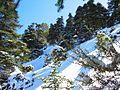 Abies pinsapo Pinsapar Sierra de las Nieves.jpg
