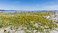 Abronia latifolia, Sidney Spit (part of Gulf Islands National Park Reserve), Sidney Island, British Columbia, Canada 02.jpg