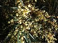Acacia cochlearis 2.jpg