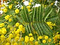 Acacia dealbata. Mimosa.jpg