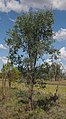 Acacia excelsa habit.jpg