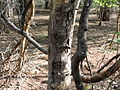 Acacia leucophloea03.JPG