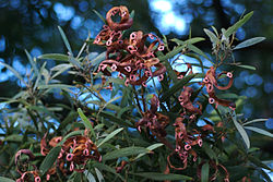 Acacia Melanoxylon Wikipedia