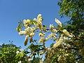 Acacia nigrescens, blomme en loof, a, Pretoria NBT.jpg