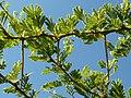 Acacia tortilis, haak- en steekdorings, Springbokvlakte.jpg