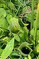 Acadia National Park, pitcher plant.jpg