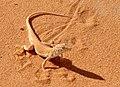 Acanthodactylus longipes Front.jpg
