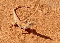 240px acanthodactylus longipes front