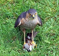 Accipiter nisus with Passer domesticus.jpg