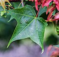 Acer cappadocicum ssp. sinicum in Hackfalls Arboretum (3).jpg