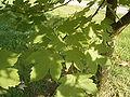 Acer heidrechii ssp heidrechii R0019774.JPG