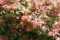 Acer palmatum Beni-hime 0zz.jpg