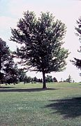 Acer saccharinum tree.jpg