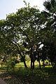 Acharya Jagadish Chandra Bose Indian Botanic Garden - Howrah 2011-01-08 9874.JPG