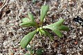 Achillea millefolium kz04.jpg