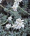 Achillea serbica Nyman (Asteraceae)-2F.jpg