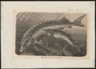 Acipenser sturio - 1700-1880 - Print - Iconographia Zoologica - Special Collections University of Amsterdam - UBA01 IZ14400021.tif