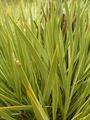 Aciphylla aurea foliage.tif