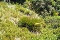 Aciphylla aurea kz18.jpg