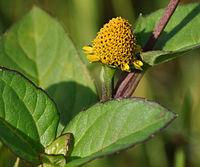 A. paniculata