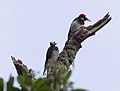 Acorn woodpeckers on Angel Island (40095).jpg