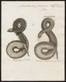 Acrochordus javanicus - 1700-1880 - Print - Iconographia Zoologica - Special Collections University of Amsterdam - UBA01 IZ11900009.tif
