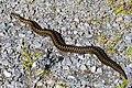 Adder . Hen snake. Vipera berus (39457108811).jpg