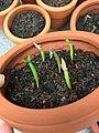 Adenium seedlings one week old.jpg