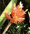 Aechmea flavorosea Inflorescence BotGardBln091006o.jpg