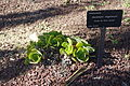 Aeonium canariense var. virgineum (Aeonium virgineum) - Jardín Botánico de Barcelona - Barcelona, Spain - DSC09081.JPG