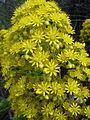 Aeonium manriqueorum (Scott Zona) 001.jpg