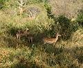 Aepyceros melampus melampus group in Tsavo West National Park 2 (edited).jpg