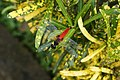 Aethriamanta brevipennis 3336.jpg