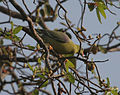 African Green Pigeon (Treron calva) in fruit-bearing tree.jpg