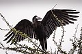 African Open-billed Stork (28163932366).jpg