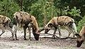 African painted dog, or African wild dog, Lycaon pictus at Savuti, Chobe National Park, Botswana. (32545049542).jpg