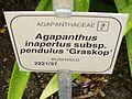Agapanthus inapertus subsp. pendulus.jpg