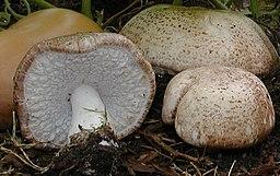 Agaricus subrufescens2