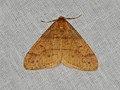 Agriopis aurantiaria (37223470544).jpg