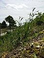 Agrostemma githago sl22.jpg