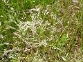 Agrostis nebulosa inflorescencias 2010-5-31 MestanzaValledeAlcudia.jpg