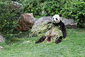 Ailuropoda melanoleuca (Panda géant) - 444.jpg