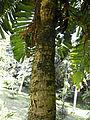 Aiphanes acanthophylla-Arecaceae-Jardin botanique de Kandy (1).jpg