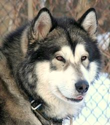 Image Result For Siberian Husky Coat