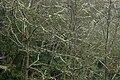 Aliso - Cerezo (Alnus jorullensis - Acuminata) - Flickr - Alejandro Bayer (2).jpg