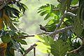 Allenia fusca in Coulibistrie-a01.jpg