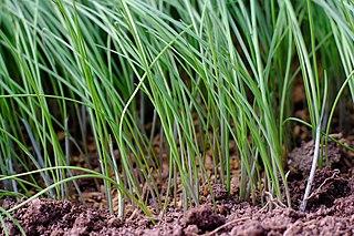 <i>Allium monanthum</i> Species of flowering plant