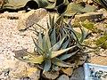 Aloe asperifolia - Palmengarten Frankfurt - DSC01749.JPG