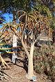 Aloe bainesii - Leaning Pine Arboretum - DSC05733.JPG